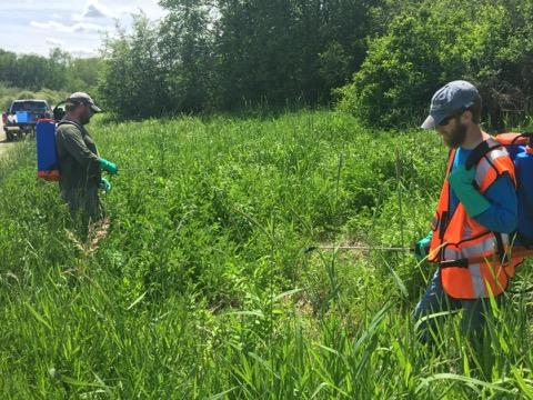 Members of the field crew spray herbicide on a field of invasive plants.